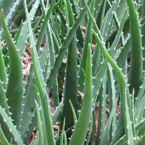 Az aloe verát ősidők óta használják a gyógyításban.