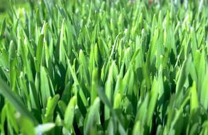 A búzafű termesztése annyira egyszerű, hogy bárki képes erre az otthonában.