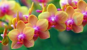 Egy, a sokféle orchidea közül